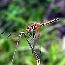 Dragon Fly by Footprint Photography