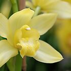 Soft Yellow Orchid by Kathleen Brant