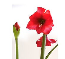 Red Amaryllis by WanderingMuse