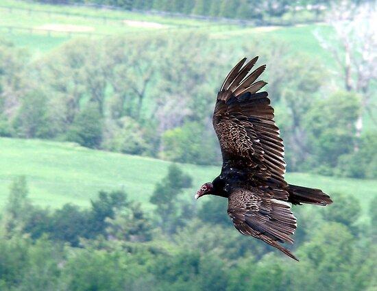 Turkey Vulture by Gotcha  Photography
