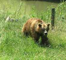 Grizzly Bear by franceslewis