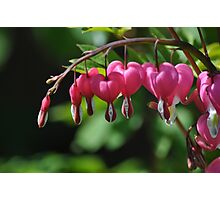 Lamprocapnos Spectabilis 'Bleeding Heart' Photographic Print