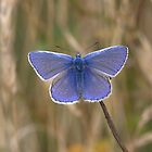 Male Comon Blue by Neil Bygrave (NATURELENS)