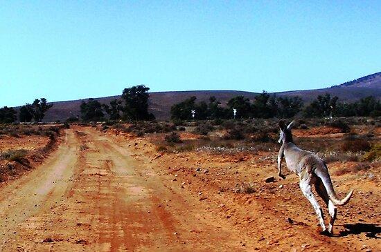Beware Kangaroos Crossing Roads Ahead by marvynmc