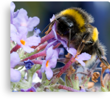 Bumble bee on a Buddleia flower  Canvas Print