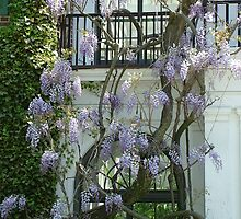 Wisteria by Janelle Austin