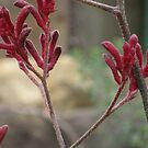 Zen like - Kangaroo Paw by oiseau