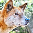 Dingo Portrait: Tyipa by George Petrovsky