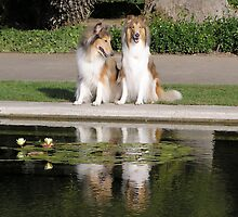 Collie Dogs Reflections - Twice as Nice! by Jan  Wall