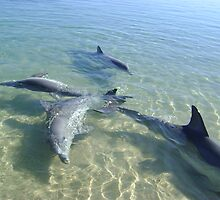Dolphins at play by Robert Bradley