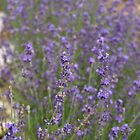 LAVENDER by SharonAHenson