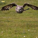 Great grey owl by Shaun Whiteman