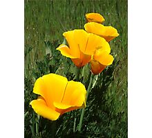 Golden Poppy Photographic Print