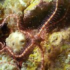 Brittle Star by Kristin Nichole Hamm