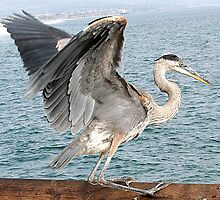 Great Blue Heron taking off at Newport Beach, California by Liz Wear