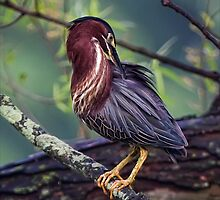 Green Heron by Margaret Barry
