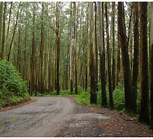 Eucalyptus Forest by Prem Narayan