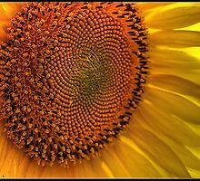 Sunflower by Prem Narayan