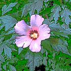 Purple Rose of Sharon by Tymlaird
