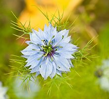 Corn Flower  by Nala
