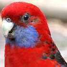 Crimson Rosella  by Marilyn Harris
