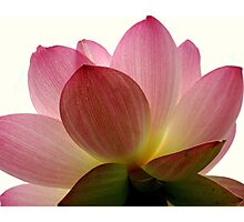 Beneath the Lotus Photographic Print