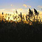 Reedbed Sunset by Allan McKean