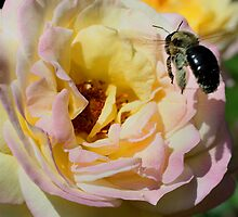 Bumble Bee Landing On Rose by SmilinEyes