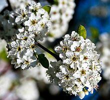 Spring White Tree Flowers by sshhoirtt