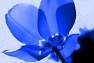 The Tulip Blues by Jo Nijenhuis