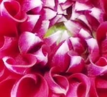 Soft red petals of Dahlia Sticker