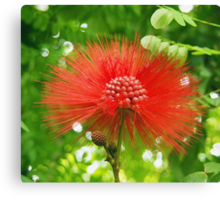 Red Puffy Firework Flower Canvas Print