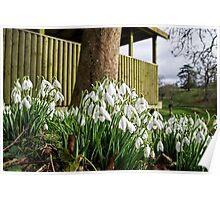 Snowdrops In Somerset Poster