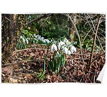 Snowdrops In Somerset 2 Poster