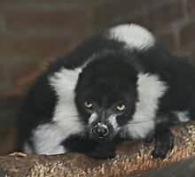 Black-and-White Ruffed Lemur by Anne-Marie Bokslag