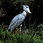 Shoe Billed Stork by Anne Smyth