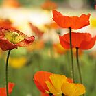 Poppies by werxj