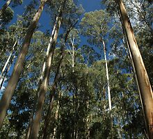Gum Trees by AndyKing