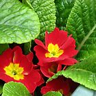 Scarlet and Gold - Sunlit Primroses by BlueMoonRose