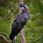 Carnaby's Cockatoo by Sandra Chung