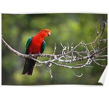 The Australian King-parrot Poster