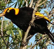 Male Regent Bowerbird - Lansdowne by louisegreen