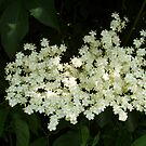 Elderflower Blossom by Tess Barnes