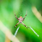 St Andrews Cross Spider by Peter Taggert