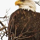 The American Bald Eagle by lorilee