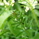 Goosegrass by Tess Barnes