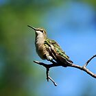 Hummingbird... by LjMaxx