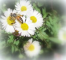 Bee Collecting on Seaside Daisy by SpikeyRose
