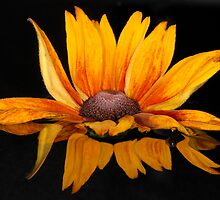 Reflect on Rudbeckia by Jacky Parker