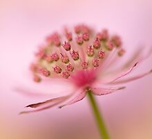 Astrantia love by Jacky Parker